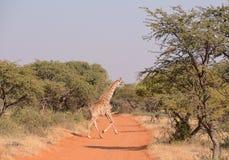 Żyrafy skrzyżowanie Zdjęcia Royalty Free