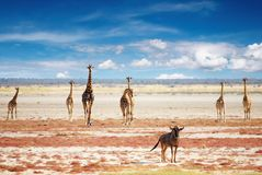 żyrafy stada Obrazy Royalty Free