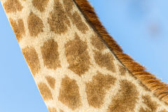Żyrafy szyi Zwierzęcy zbliżenie Zdjęcie Stock