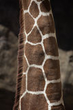 żyrafy szyja Obraz Stock