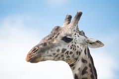 Żyrafy twarz przy Serengeti parkiem narodowym, Tanzania, Afryka Zdjęcie Royalty Free