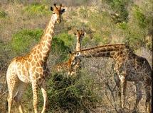 Żyrafy w Afryka Fotografia Stock