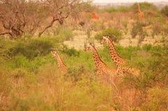 Żyrafy w Afryka Tsavo parku narodowym Zdjęcia Royalty Free