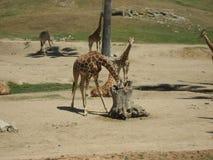 Żyrafy W Dzikim obraz royalty free