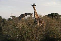 Żyrafy W Dzikim Obrazy Stock