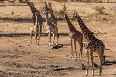 Żyrafy w Kruger park narodowy Fotografia Stock