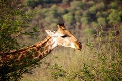 Żyrafy w Namibia Obrazy Stock