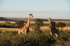 Żyrafy w północnym zachodzie, Południowa Afryka Zdjęcie Royalty Free