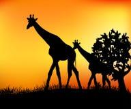 Żyrafy w sawannie Fotografia Royalty Free