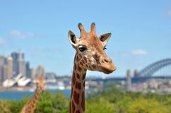 Żyrafy w zoo przeciw Sydney Nowym południowym waliom Australia Fotografia Royalty Free