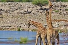 Żyrafy walka przewaga - Afrykańska przyroda - fotografia royalty free