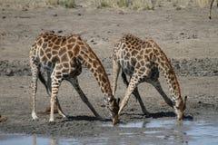 Żyrafy woda pitna Fotografia Stock