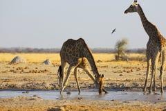 Żyrafy woda pitna przy waterhole Zdjęcie Royalty Free