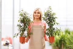 Yrkesmässig blomsterhandlare som arbetar i växthus Royaltyfri Foto