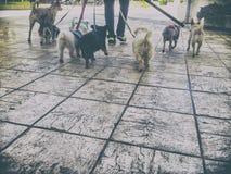 Yrkesmässig hundfotgängare med en grupp av hundkapplöpning i den gamla staden royaltyfri fotografi