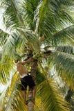 Yrkesmässig klättrare på kokosnöten som treegathering Royaltyfri Fotografi