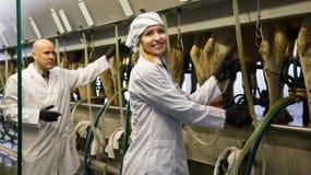 Yrkesmässiga mjölkare som fungerar att mjölka för maskin Arkivbilder