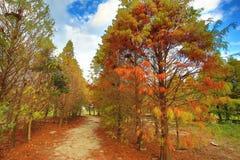 łysego cyprysu drzewa Obraz Royalty Free