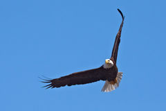 łysego orła lot Zdjęcie Stock