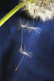 Łysienia dandelion Fotografia Royalty Free