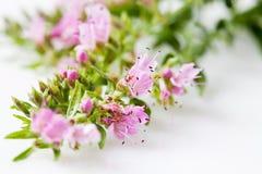 Ysop, Hyssopus officinalis, medyczna roślina fotografia stock