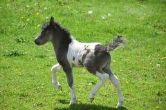 Yster svartvit målarfärg Mini Horse i Lancaster County Arkivfoton