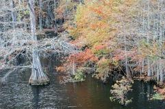 Łysy cyprys w jesieni Zdjęcia Royalty Free