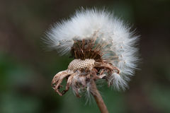 Łysy dandelion Fotografia Stock