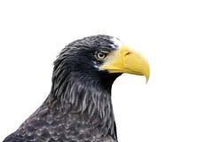 Łysy Eagle Obrazy Royalty Free