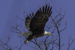 Łysy Eagle Obraz Stock