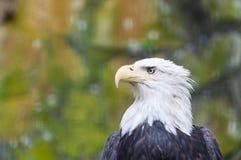 Łysy Eagle Zdjęcie Royalty Free