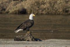 Łysy Eagle Blisko rzeki Obrazy Royalty Free