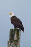 Łysy Eagle na poczta Obrazy Royalty Free