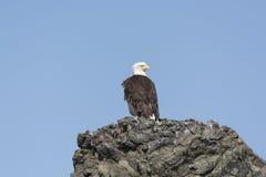 Łysy Eagle na Skalistej wyspie Obrazy Royalty Free