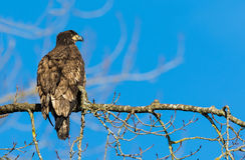 Łysy Eagle w kolumbiach brytyjska, Canad (Haliaeetus leucocephalus) Zdjęcia Royalty Free