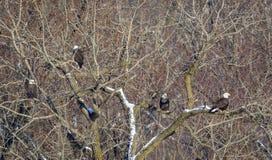 Łysy Eagles na drzewie przy parkiem narodowym Obraz Royalty Free