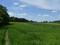 ?yta pole zielona kukurydza europejczycy fotografia royalty free