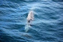 Ytbehandla för delfin Arkivfoto