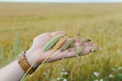 Żyto, owsy, banatka i triticale w palmie ręka na tle earful pole, Zdjęcie Royalty Free