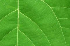 Yttersida av det gröna bladet med åder Arkivfoto