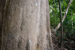 Yttersida av ett gammalt agarträd i en tropisk skog Royaltyfri Foto