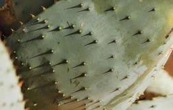 Yttersida för aloeferoxblad arkivfoton