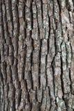 Yttersida för kamferträd Arkivbild