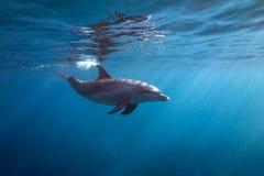 Yttersidadelfin royaltyfri bild