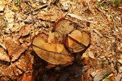 Yttersidan av en stubbe av trädcloseupen i en skog Arkivfoto
