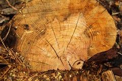 Yttersidan av en stubbe av trädcloseupen i en skog Royaltyfri Foto