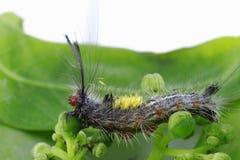 Yttre livsfunktioner av larver Arkivbild