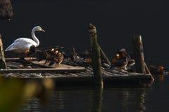 yuanyang белизны лебедя Стоковые Изображения