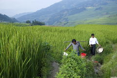 Yuanyang Rice Farmers Stock Photo