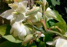 yuca Imagen de archivo